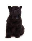 Zwart chow-chowpuppy Royalty-vrije Stock Foto's