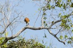 Zwart Collared Hawk Eating Prey op Boomlidmaat royalty-vrije stock foto's