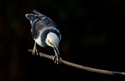 Zwart-collared Starling. Royalty-vrije Stock Foto