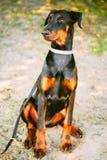Zwart Doberman-Hond Openluchtportret Royalty-vrije Stock Afbeeldingen