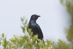 Zwart-doen zwellen Glanzende Starling Stock Afbeeldingen