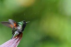 Zwart-doen zwellen kolibrie in de regen, Costa Rica stock afbeelding