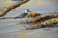 Zwart-doen zwellen Plevier op Crystal Cove State Park Beach royalty-vrije stock foto