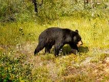 Zwart draag, Canadees Rocky Mountains Royalty-vrije Stock Foto's