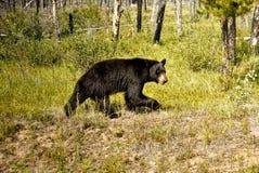 Zwart draag, Canadees Rocky Mountains Stock Foto