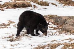 Zwart draag de americanus Neus van Ursus aan Grond stock afbeeldingen