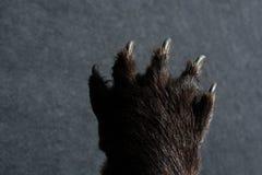 Zwart draag de scherpe Klauwen van Paw With royalty-vrije stock foto's