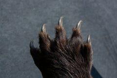 Zwart draag de scherpe Klauwen van Paw With stock foto's