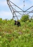 Zwart draag het eten bessen bij hydrolijnen in Algonquin Park stock foto