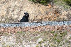 Zwart draag naast spoorweg, Alberta, Canada Stock Foto