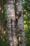 Zwart draag Ursus de americanus Welp rond Boomboomstam kijkt Royalty-vrije Stock Foto