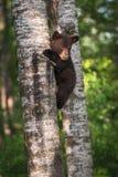 Zwart draag Ursus de americanus Welp zich aan Boomboomstam vastklampt Stock Fotografie