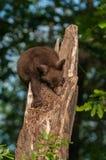 Zwart draag Welp (americanus Ursus) Draaien om onderaan Boom te beklimmen Royalty-vrije Stock Afbeelding