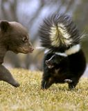 Zwart draag Welp bedreigt Gestreept Stinkdier - het onduidelijke beeld van de motie Stock Afbeeldingen