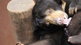 Zwart draag welp bij de dierentuin stock fotografie
