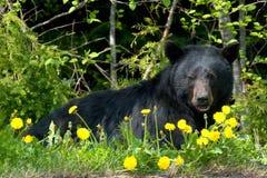 Zwart draag in wildernis Stock Foto's