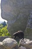 Zwart draag zwerft de wildernis Royalty-vrije Stock Foto