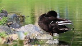Zwart Duck Cleaning zijn Veren bij Vijver stock videobeelden