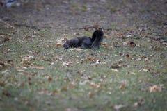 Zwart eekhoornportret in Cleveland Ohio Stock Foto