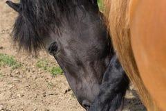 Zwart en bruin paard op een paddock in hete de zomerdag van juli stock afbeeldingen