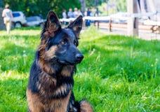 Zwart en bruine Duitse herder Stock Fotografie