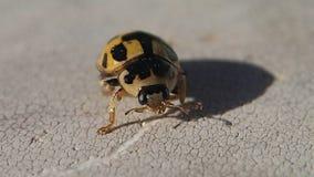 Zwart en geel onzelieveheersbeestje die het kader na het schoonmaken van zijn benen verlaten stock video