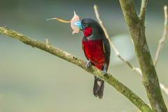 Zwart-en-rode Broadbill Royalty-vrije Stock Foto's