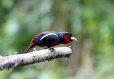 Zwart-en-rode macrorhynchos van Broadbill Cymbirhynchus Royalty-vrije Stock Afbeeldingen