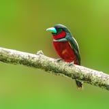 Zwart-en-rood broadbill vogel Stock Fotografie