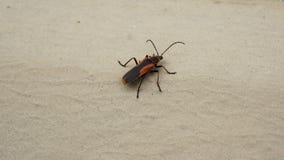 Zwart en rood insect stock afbeelding
