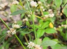 Zwart en rood katoenen stainer insect of Milkweed-insect royalty-vrije stock afbeelding