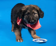 Zwart en rood ruwharig puppy in rode bandana die zich op blauw bevinden Stock Afbeelding