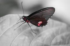 zwart en rood vlinderinsect alleen op een profielblad royalty-vrije stock afbeelding