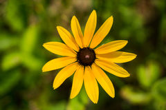 "Zwart-eyed hirta van Susan †""Rudbeckia royalty-vrije stock foto"