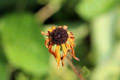 Zwart-eyed hirta van Susan of Rudbeckia-bloeit met zwart centrum en geel aan oranje bloemblaadjes die beginnen te vernietigen stock foto's