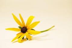 Zwart-eyed-Susan Royalty-vrije Stock Afbeeldingen