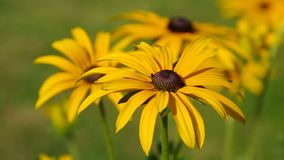 Zwart-Eyed Susan stock footage