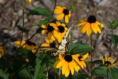 Zwart-eyed susans en vlinder royalty-vrije stock afbeelding