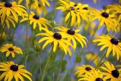 Zwart-eyed Susans (Rudbeckia-hirta) Stock Foto