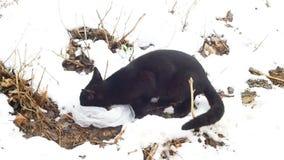Zwart Feral Cat die op de verse sneeuw eten stock footage