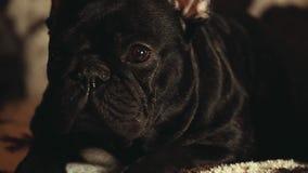 Zwart Frans Binnenlands de daglicht van het Buldoghuis stock videobeelden