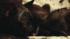 Zwart Frans Binnenlands de daglicht van het Buldoghuis stock footage