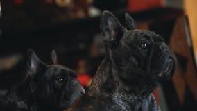 Zwart Frans Binnenlands de daglicht van het Buldoghuis stock video
