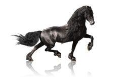 Zwart friesian paard dat op wit wordt geïsoleerdd stock foto's