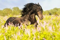 Zwart friesian paard op de weide Stock Afbeelding