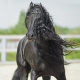 Zwart Friesian paard, portrain in motie Stock Foto's