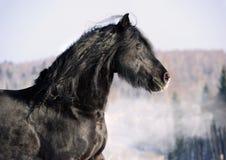Zwart friesian paardportret in galop Royalty-vrije Stock Foto's