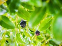 Zwart fruit met dauwdaling Stock Foto's