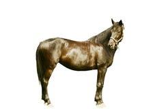 Zwart geïsoleerdg paard Stock Fotografie