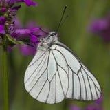 Zwart-geaderd Wit (crataegi Aporia) Stock Foto